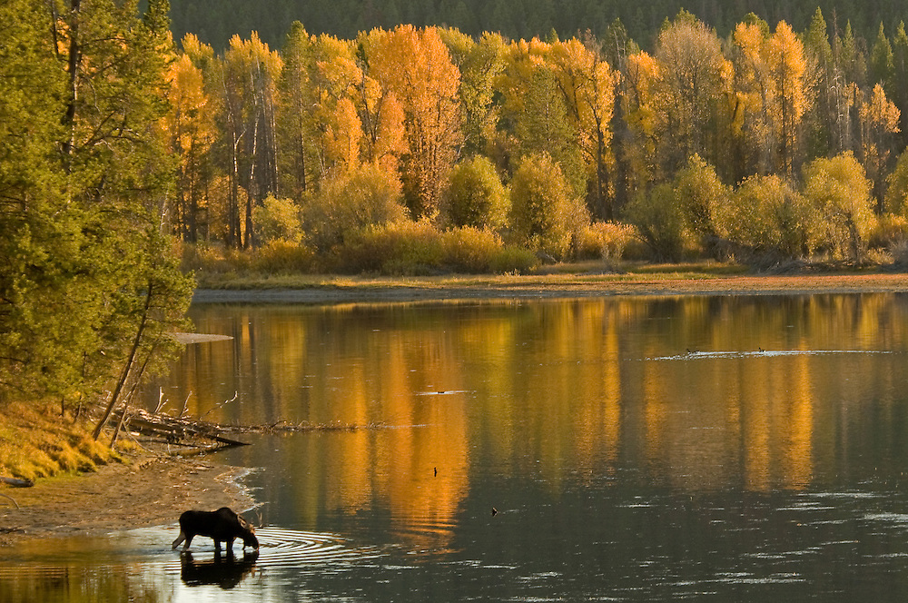 A young bull moose enjoys a drink as golden evening light illuminates the cottonwood trees along the shore of the Snake River.