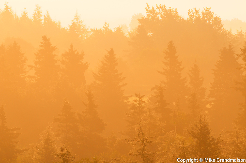 Trees in fog at sunrise