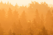 Trees in fog at sunrise