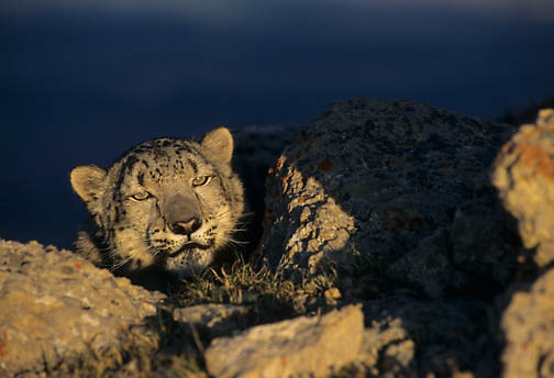 Snow Leopard (Panthera uncia).  Snow leopards inhabit the high mountains of central Asia.  Captive Animal.