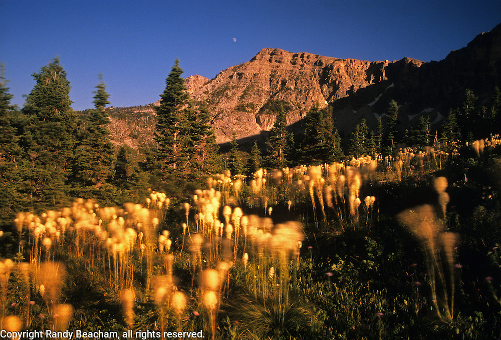 Bear grass blowing in the wind below Kiyo Crag. Badger Two Medicine Roadless Area in the Lewis and Clark National Forest, Montana