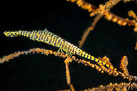Banded Tozeuma Shrimp on Sea Whip<br /> <br /> Shot in Indonesia