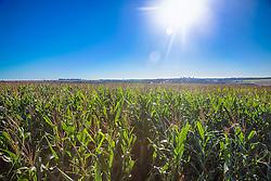 Campo de Milho na área rural de Perdizes, Minas Gerais. FOTO: Jefferson Bernardes/Agência Preview