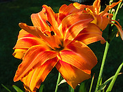 An orange day lily flower with red stripes blooms in a Virginia garden, USA.
