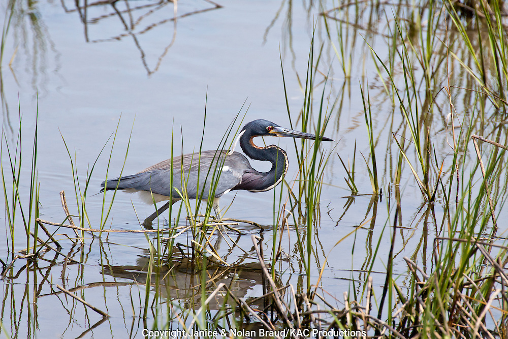 Tricolored Heron, Egretta tricolor, stalking food in the coastal marshes of the south Texas Gulf Coast at the South Padre Island Birding and Nature Center. The Tricolored Heron was once known as the Louisiana Heron.