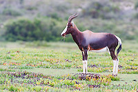 Bontebok Ram, De Hoop Nature Reserve & Marine Protected Area, Western Cape, South Africa