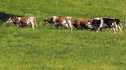 THEMENBILD - eine Kuhherde geht auf einem Feldweg, aufgenommen am 23. Mai 2019, Kaprun, Österreich // a herd of cows walking on a dirt road on 2019/05/23, Kaprun, Austria. EXPA Pictures © 2019, PhotoCredit: EXPA/ Stefanie Oberhauser