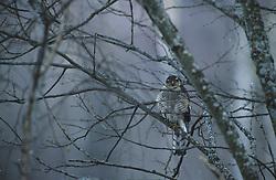 Northern Sparrow Hawk