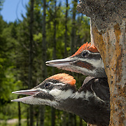 Pileated woodpeckers (Dryocopus pileatus) are the largest woodpecker commonly seen in North America. Montana