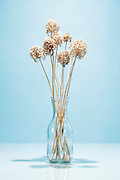 still life with dried wildflower plant / Withered Persion onion