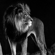 Soul Survival: African Lion (Panthera leo)<br />