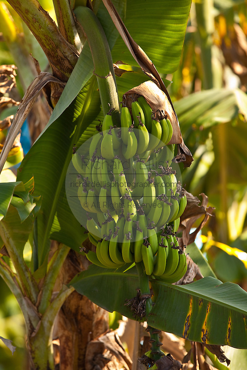 Close-up of Bananas growing in Puerto Rico