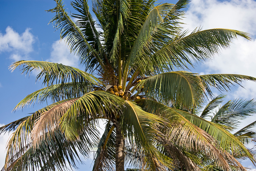 Royal Palm tree, Roystonea coconut palm, in South Beach, Miami, Florida, United States of America