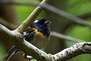While endemic to New Zealand, the Hihi or Stitchbird (Notiomystis cincta) became extinct on mainland New Zealand in the late 1800s. Wellington's Karori Sanctuary (Zealandia) has since established a new wild population of the Hihi in 2005. While the female is a muted olive, the male Hihi has a black head and a vibrant yellow collar.