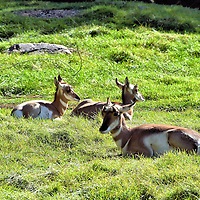 Three Pronghorns at Zoo in Winnipeg, Canada<br /> These three pronghorns appear to be juveniles. On the left is a female. The two males on the right have a hint of black below their chins and are showing emerging horns. At maturity, they will weigh 85 to 140 pounds. They are the fastest animal native to northwestern United States and southern Manitoba. They can reach a top speed of 53 m.p.h. and a sustained pace of 43 m.p.h.