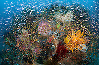 Cardinal fish and Sweepers swarm an already crowded and vibrant coral head<br /> <br /> Shot in Indonesia