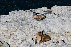 A female puma (Puma con color) also known as a mountain lion or cougar, and her cub laying down on a lakeside stromolite rock, Torres del Paine, Chile, South America