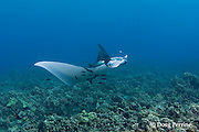 manta ray, Manta birostris, being cleaned by Hawaiian saddle wrasses, Thalassoma duperrey, and Hawaiian cleaner wrasses, Labroides phthirophagus ( both endemic species ) at cleaning station on coral reef, Ukumehame, West Maui, Hawaii ( Central Pacific Ocean )