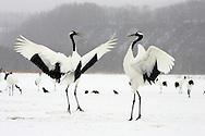 Pair endangered red-crowned cranes (Grus japonensis) in mating dance, Hokkaido Island, Japan.