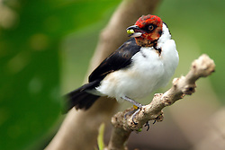 05 June 2005:   The red-capped cardinal is a small South American bird. It belongs to Paroaria, a genus of red-headed cardinal-tanagers.