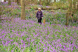 © Licensed to London News Pictures. 13/04/2020. Purley Chase, Warwickshire, UK. A woman walks through a field of bluebells near Purley Chase in Warwickshire. The bluebells usually show at the end of April but due to the good Bank Holiday weather they have made an early appearance. Photo credit: Dave Warren / LNP