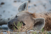 Dozing Hyena, starting to stir as the day cools down late in the afternoon.