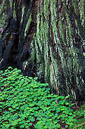 Clovers grow up to the base of this redwood, painted with green moss, Muir Woods National Monument