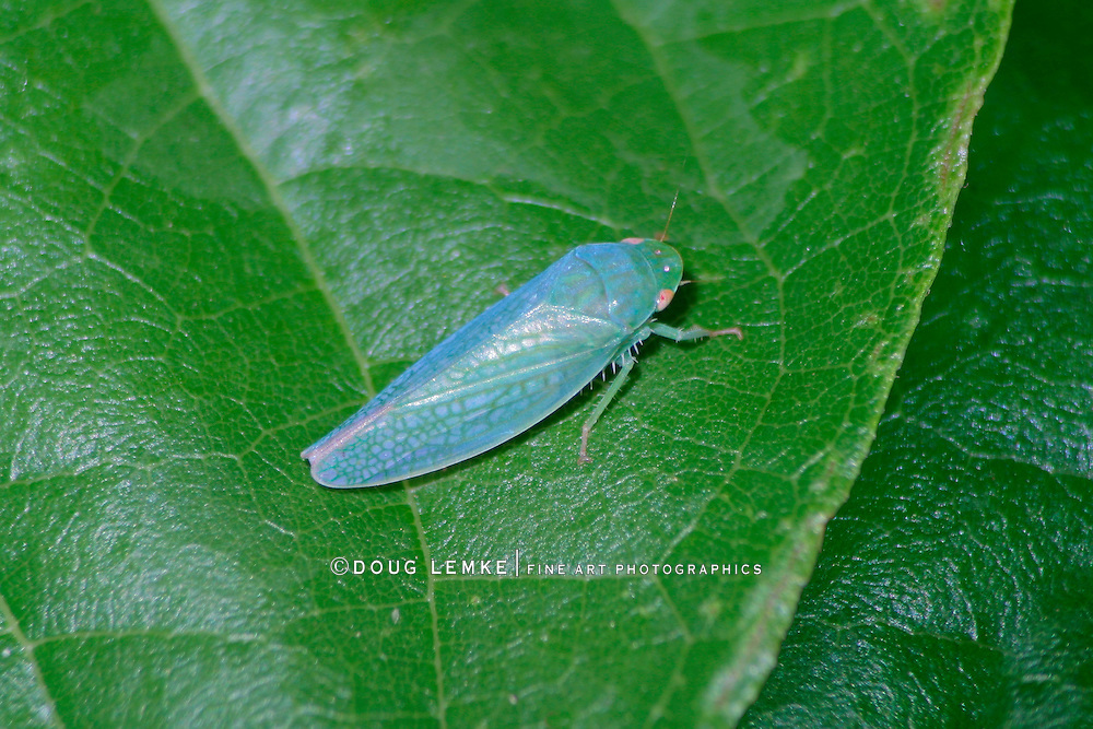 A Tiny And Very Cute Leaping Insect, The Gyponine Leafhopper, Southwestern Ohio, USA