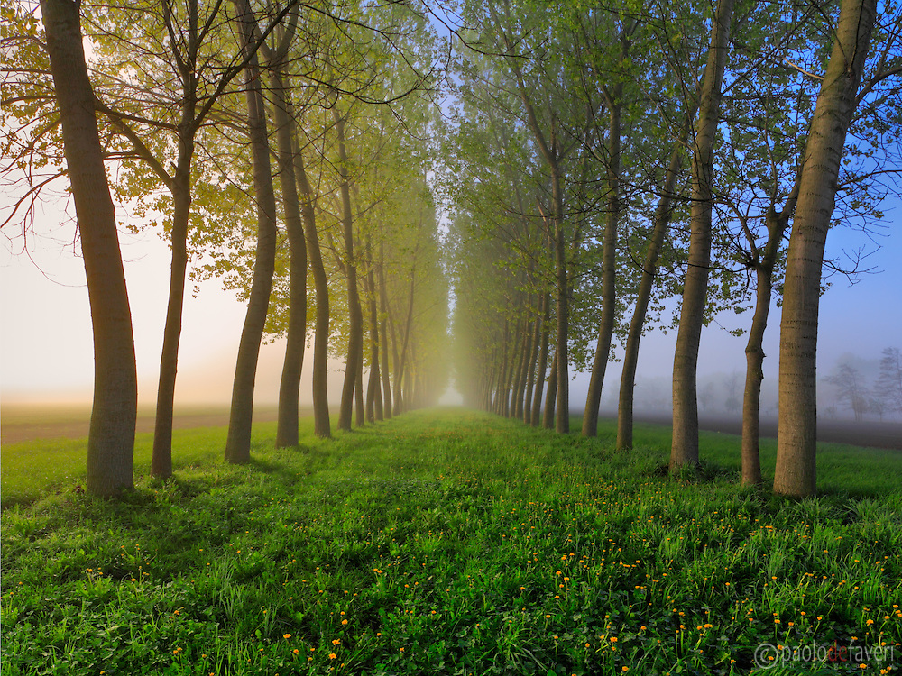 A  view at sunrise of an alley of poplar trees and a carpet of dandelions in full blossom on the ground. Taken at dawn on a foggy morning at the beginning of April in the countrysibe nearby the small town of Osasio in Piedmont, Italy