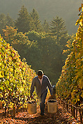 Harvesting pinot noir at Ayoub's vineyard, Dundee Hills, Willamette Valley, Oregon