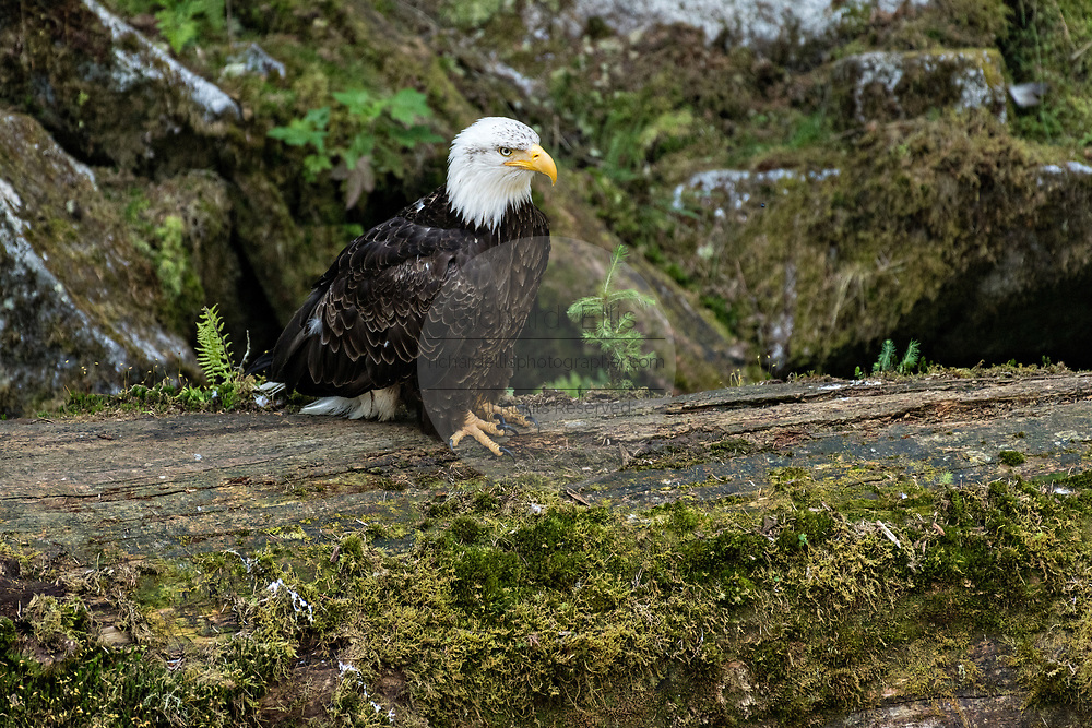 An adult Bald Eagle watches for an opportunity to steal salmon scraps from feeding bears at Anan Creek in the Tongass National Forest, Alaska. Anan Creek is one of the most prolific salmon runs in Alaska and dozens of black and brown bears gather yearly to feast on the spawning salmon.