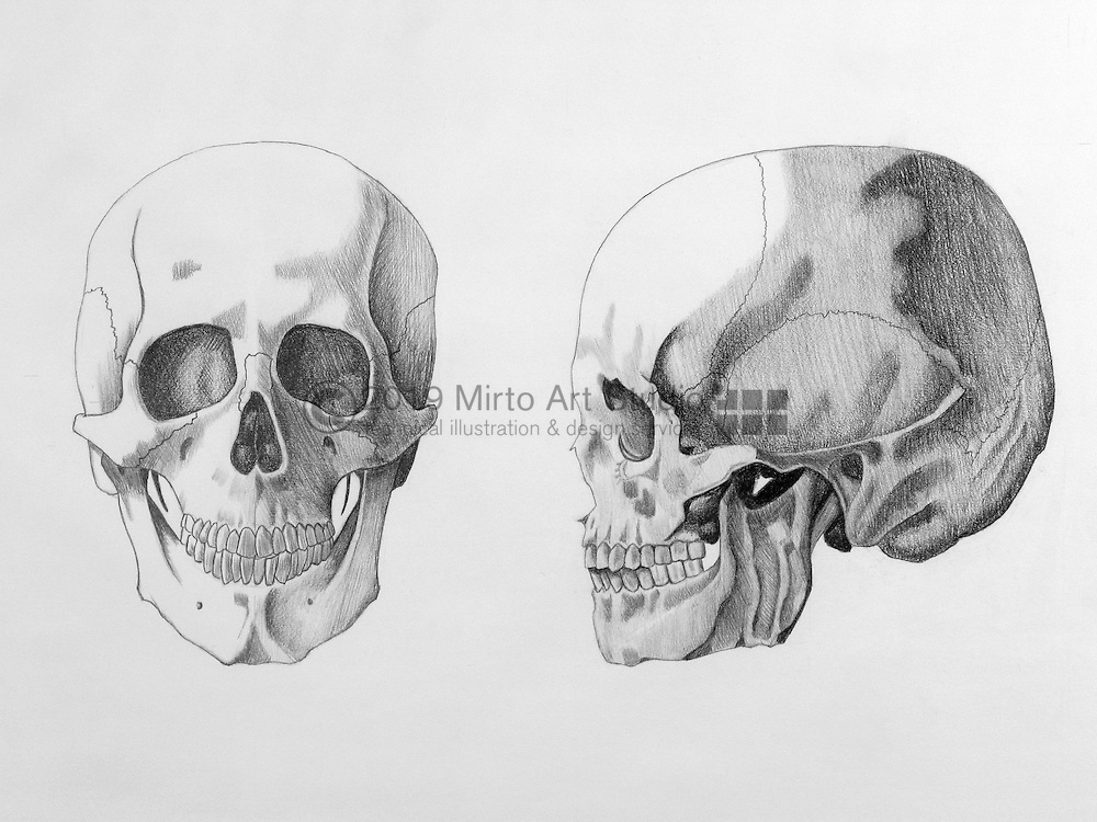 graphite drawing of the human skull in the anterior and lateral position