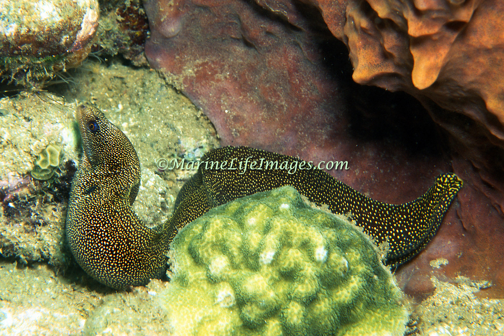 Goldentail Moray inhabit shallow to mid-range reefs, hide during day in recesses often extending head from openings, in Tropical West Atlantic; picture taken Grand Cayman.