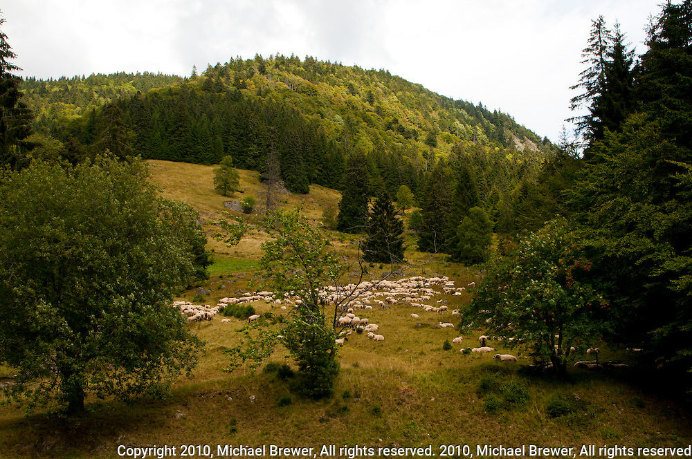 Flock of sheep ion a hillside in the Black Forest, Germany