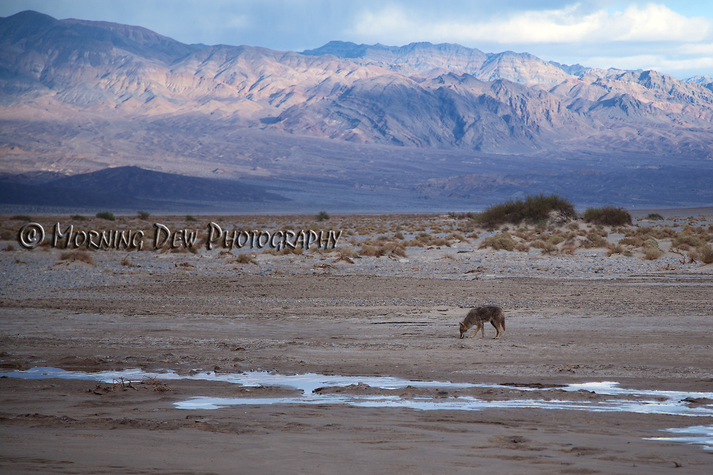 A lone coyote snacks on pup fish along Salt Creek in Death Valley National Park.