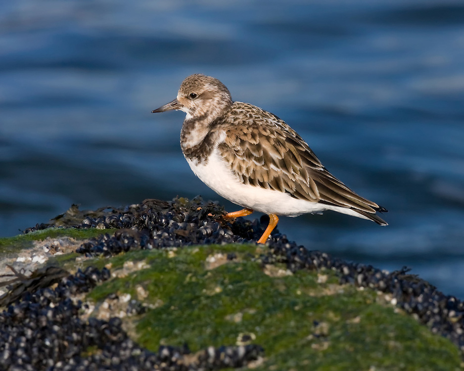 Ruddy Turnstone (Arenaria interpres),winter plumage