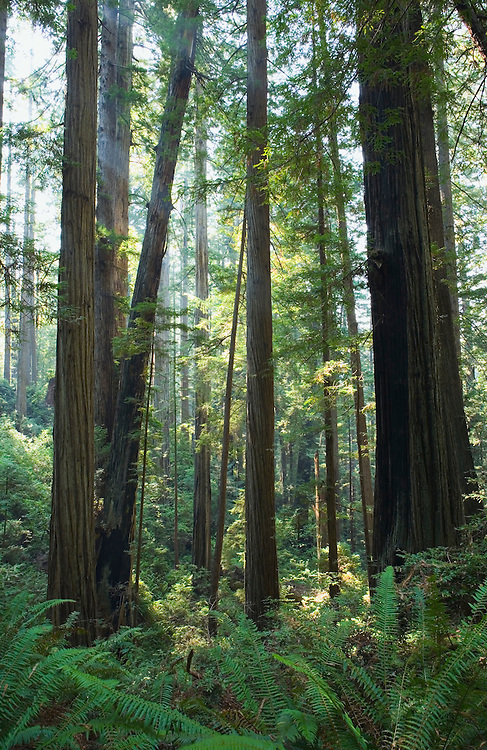 Redwood forest in Redwoods National Park in Northern California