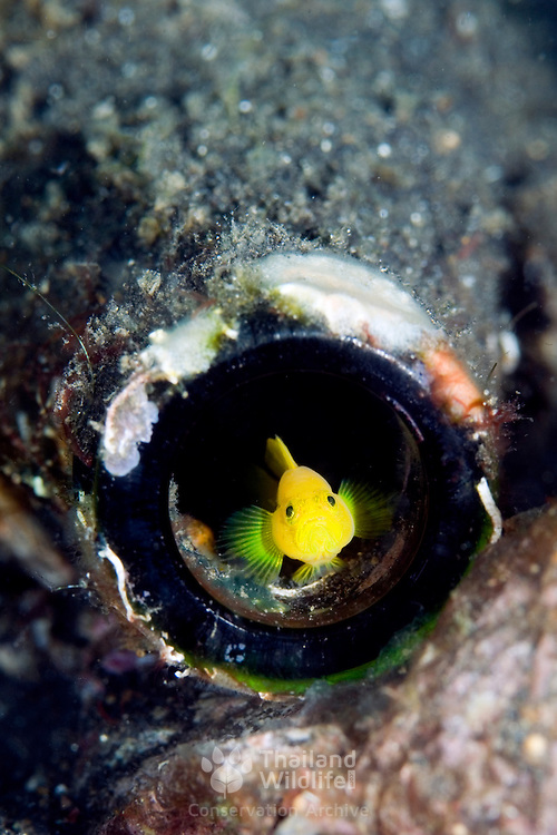 Dinah's Goby Lubricogobius living in a discarded bottle at Lembeh Straits, Indonesia.