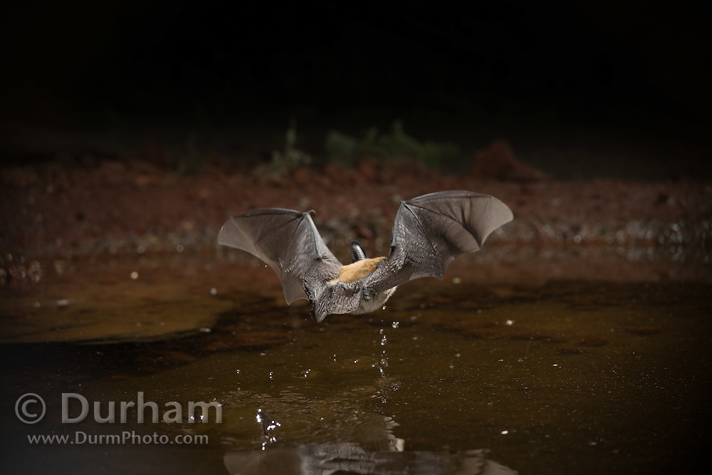 A thirsty western long-eared bat (Myotis evotis) comes to drink at a watering hole in the high desert of Oregon.