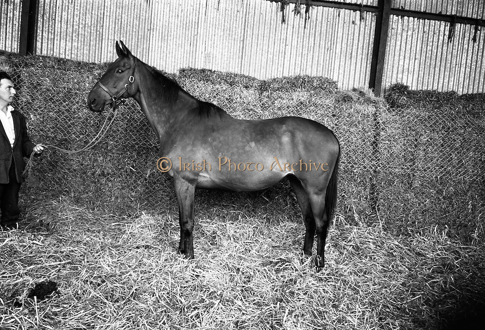 Legendary racehorse Arkle in retirement with a stable companion at at Maynooth. The Tom Dreaper-trained bay won three Cheltenham Gold Cups (1964, 1965, 1966), the Irish Grand National and a host of other top prizes. <br /> 04.08.1967