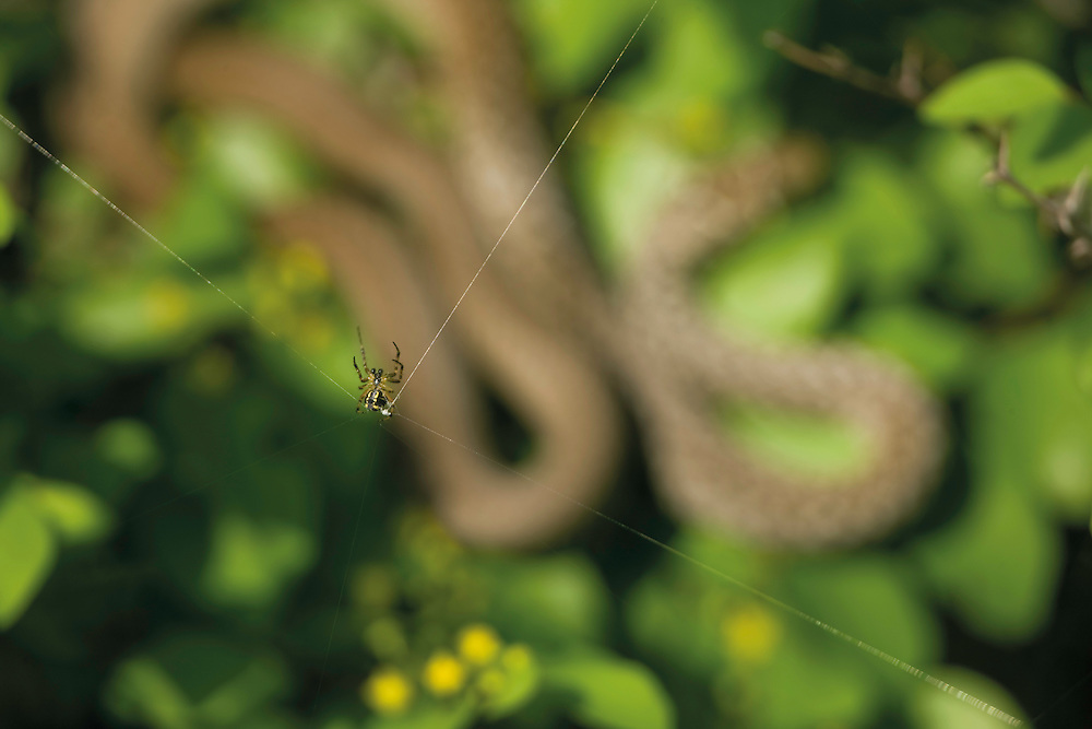 A spider weaving a web over a balkan whip snake (Hierophis gemonensis). Hills near Svitava Lake, Hutovo Blato Nature Park. Bosnia-Herzegovina. May 2009<br /> Elio della Ferrera / Wild Wonders of Europe