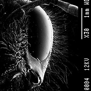 Profile of the Bumble Bee (Bombus terrestris). Showing eye facets dotted with pollen grains.