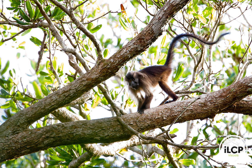 Gray-cheeked Mangabey (Lophocebus albigena) in tree, Lope National Park, Gabon