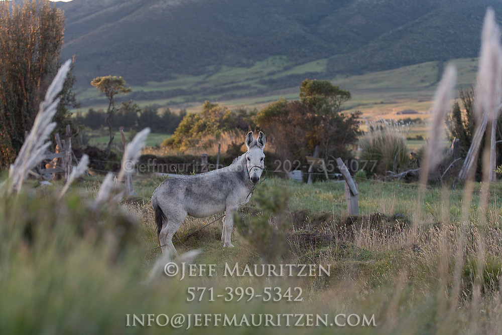 A donkey stands in a field in the high altitude Sierra or Andean mountains of Ecuador.