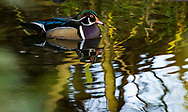 The wood duck or Carolina duck (Aix sponsa) is a species of perching duck found in North America. It is one of the most colorful North American waterfowl
