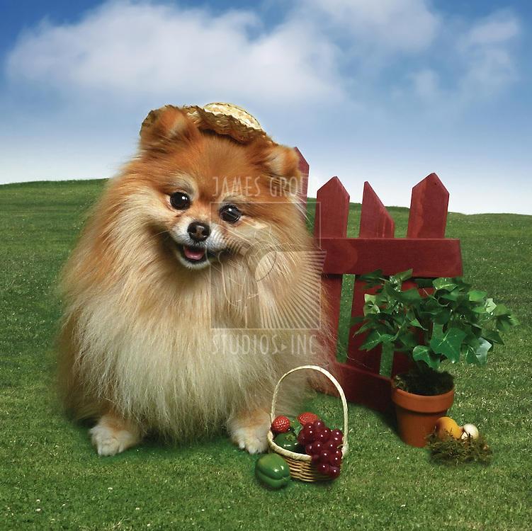 Cute little Pomeranian puppy wearing a straw hat on a clear day with rolling hills in the background