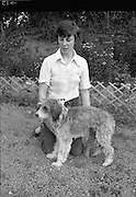 Greyhound and Pups.    (M81)..1979..12.07.1979..07.12.1979..12th July 1979..Pictured at Saggart, Co Dublin,was a champion greyhound and her pups. The dogs were reared using Spratts Dog Foods..The handler poses her dog for the camera.