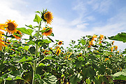 Israel, Sunflower field