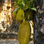 Jackfruit (Artocarpus heterophyllus) the Muang Sing historical park in the Sai Yok district, Kanchanaburi province, Thailand
