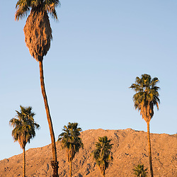 Palm trees and the San Jacinto Mountains in Palm Springs, California.